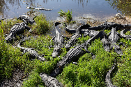alligatoren in den everglades