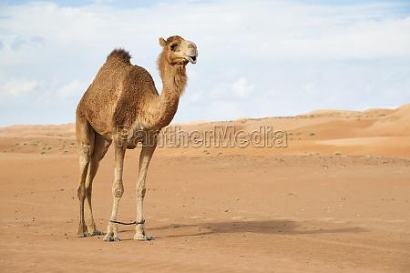 kamel in wahiba oman