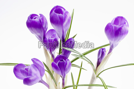 some of violet crocus flowers isolated