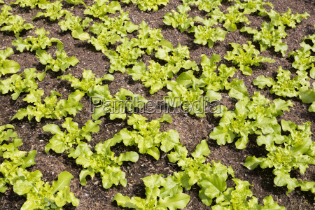 young lettuce plants in spring
