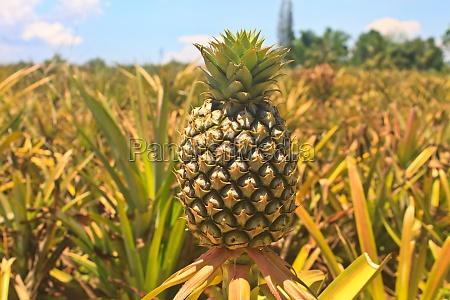 pineapple tropische frucht