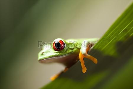 rotaeugiger frosch gruener baum