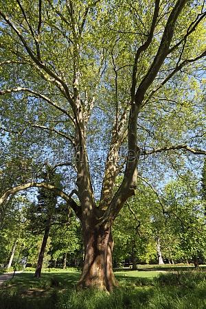 beautiful tree in munster north rhine