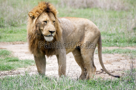 afrikanischer loewe panthera leo