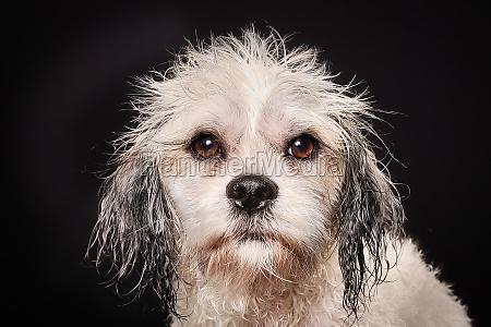 reinrassiger havanese hund