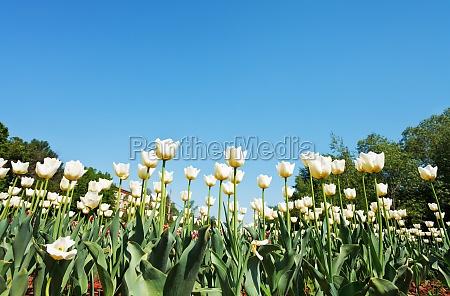 ornamental white tulips on flower bed