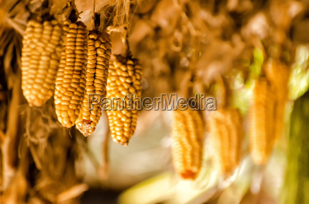 hang south america corn corncob ecuador
