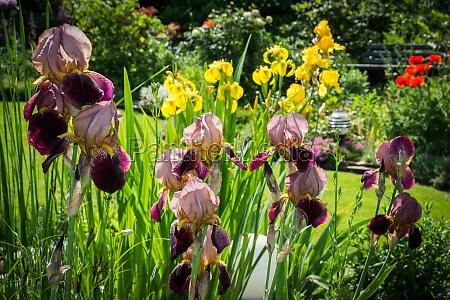 irises in the sunny garden