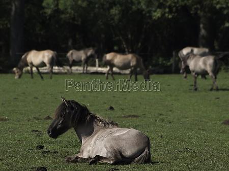 wildpferde im muensterland