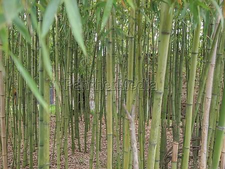 immergruen bambus mehrjaehrig bluete erbluehen bluehen