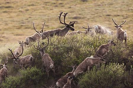 caribou wandern durch die arctic national
