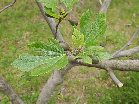 blatt baumblatt baum flora feige pflanzenwelt