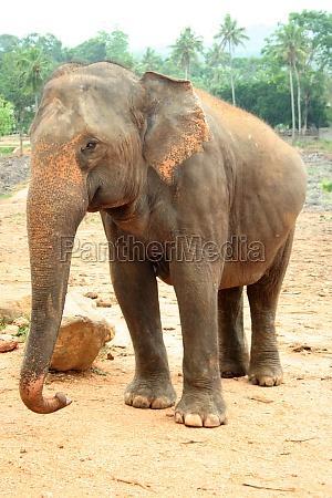 elefant sri lanka