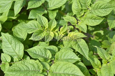 blaetter einer kartoffelpflanze raja im bio