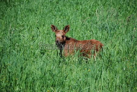 elk calf in a summer meadow