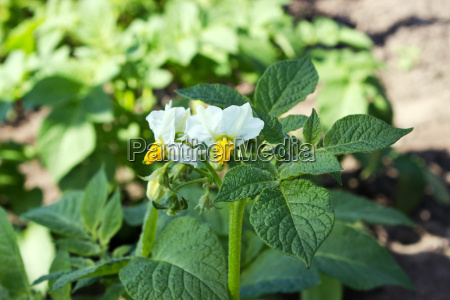 potato plants blossom potatoes spring garden