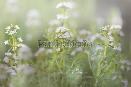 flowering thyme outdoors