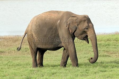 elefant wildlife