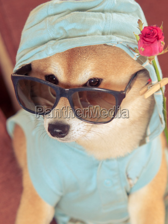 vintage look from shiba inu dog