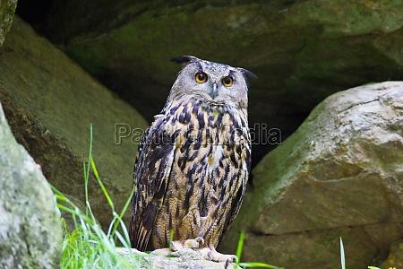 eagle owl owl animal bird nature