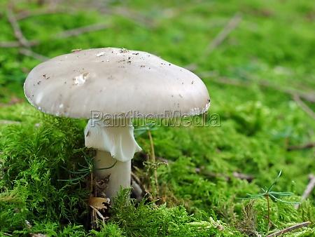knollenblaetterpilz amanita phalloides