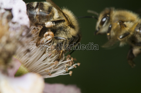bee approaching to blackberry blossom