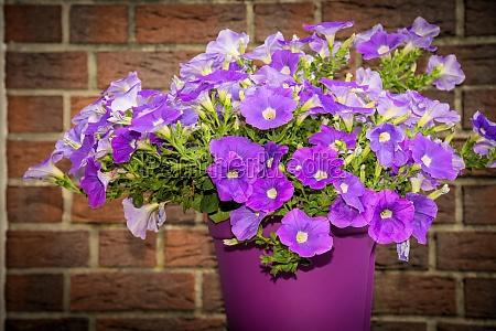 petunia in the pot