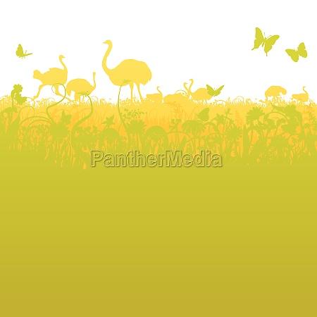 vogelstrauss und straussenherde in der savanne