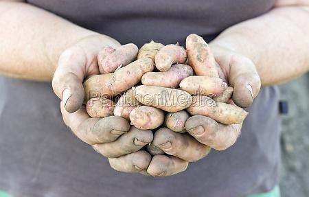 bamberg potatoes vegetables fresh yellow pink