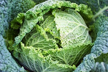 fresh green savoy cabbage cabbage vegetable