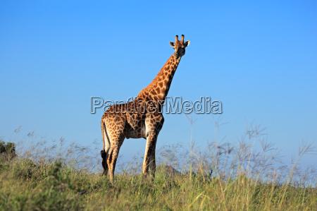 saeugetier wild afrika wildlife safari giraffe