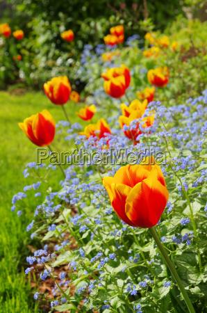 tulpe und vergissmeinicht tulip