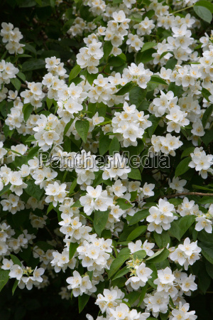 mock orange bluete im fruehjahr