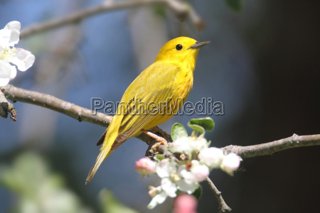 yellow warbler dendroica petechie