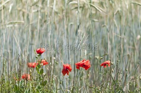 red poppy in the grain field