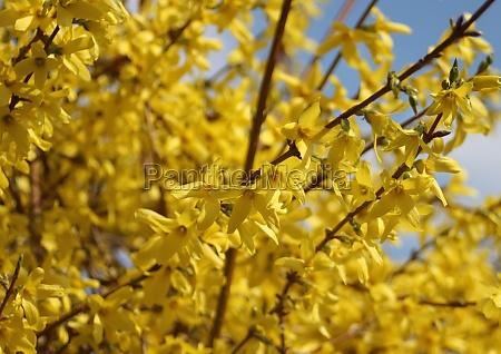 gelbe besen blumen im fruehling mit