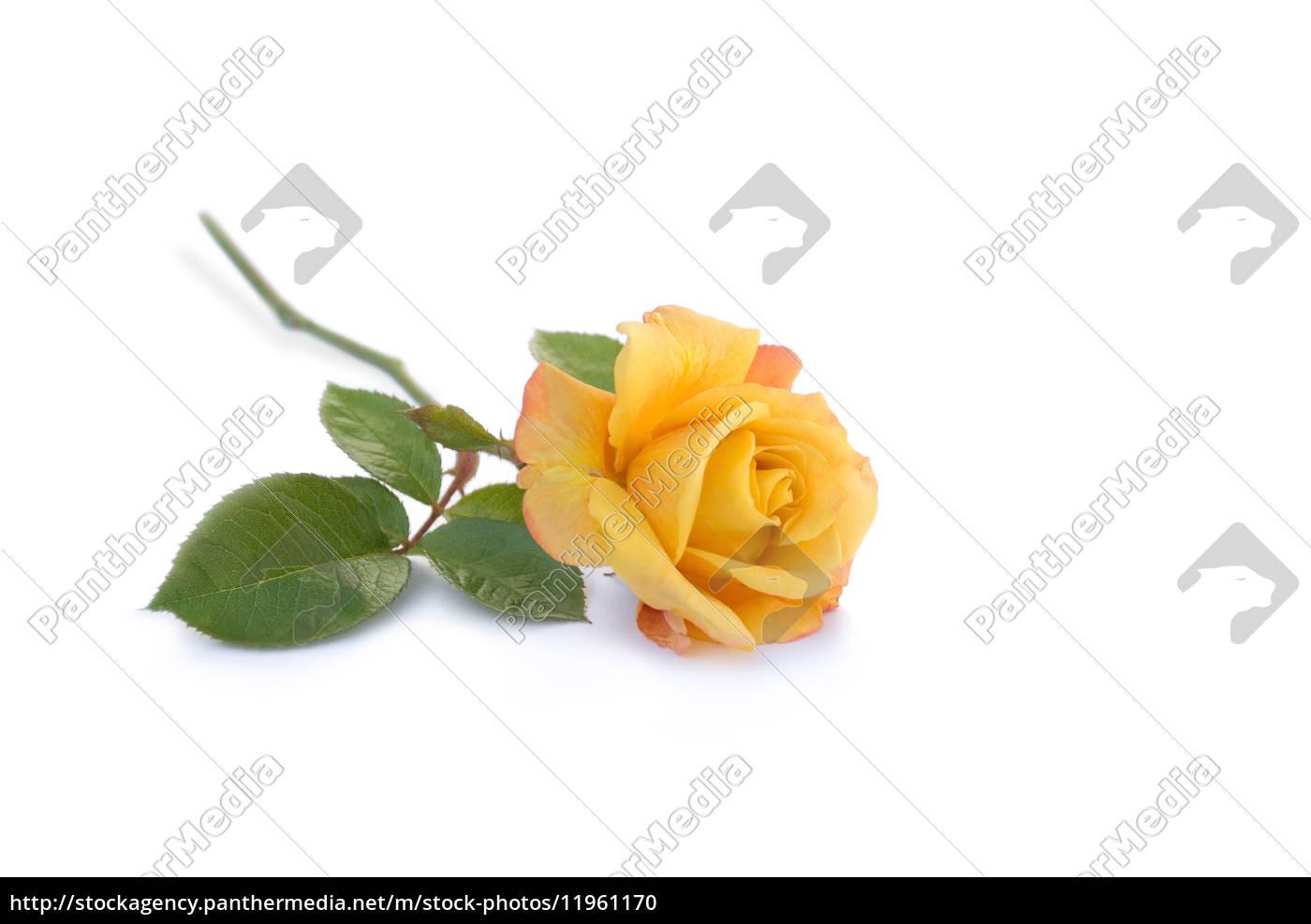 Gemeinsame Gelbe Rose - Stock Photo - #11961170 - Bildagentur PantherMedia @QO_69