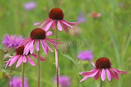 purpursonnenhut in prairie garden