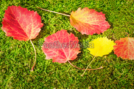 fallen red leaves of aspen on