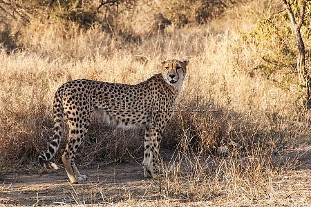 tshukudu game reserve cheetah