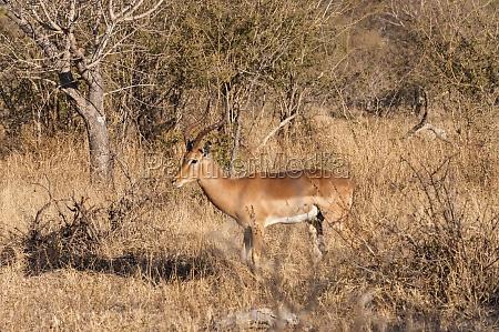krueger nationalpark impala