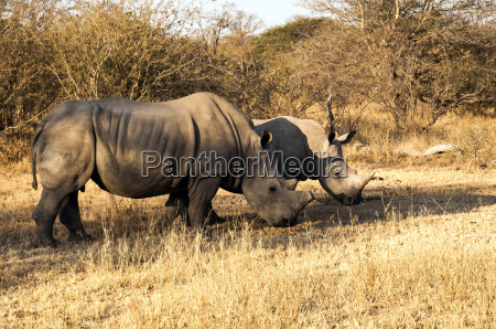 kruger nationalpark white rhino