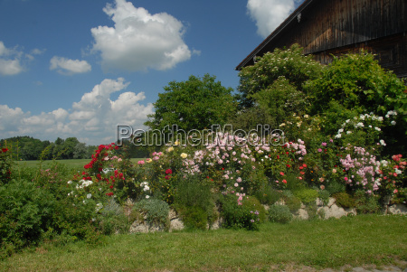 agriculture farming summer summerly roses barn