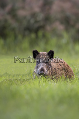 boar in a clearing in the
