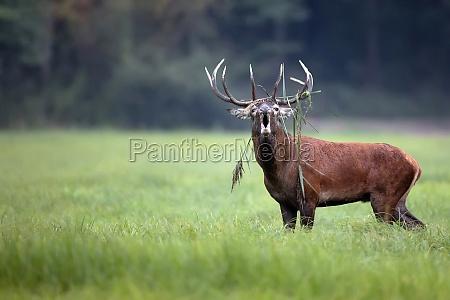 red deer bellowing in the wild