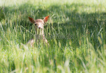 versteckte young deer