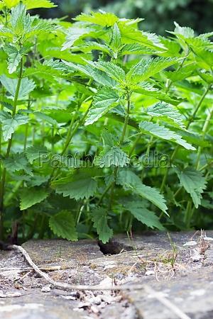 blatt, baumblatt, stein, wild, unkraut, glimmstengel - 12047587