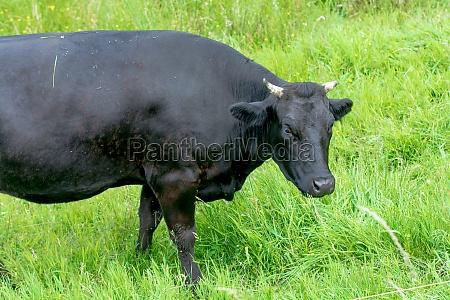 schwarze kuh auf einer gruenen weide