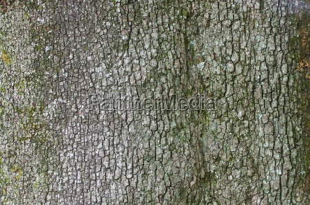 steineiche rinde holm oak bark