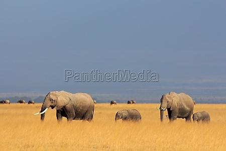 afrikanische elefanten im gruenland